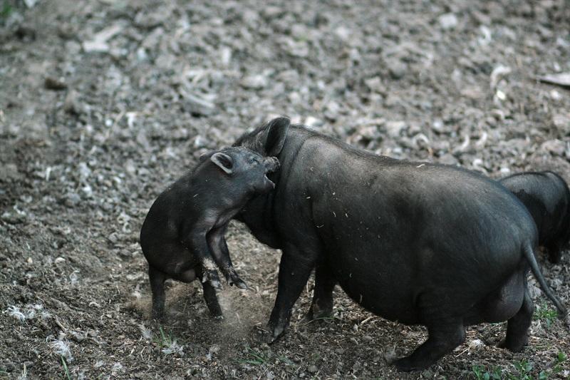 Świnia wietnamska